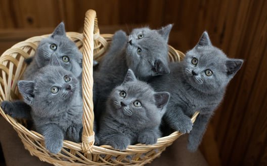 Обои Пепельные котята сидят в плетеной корзине и смотрят вверх