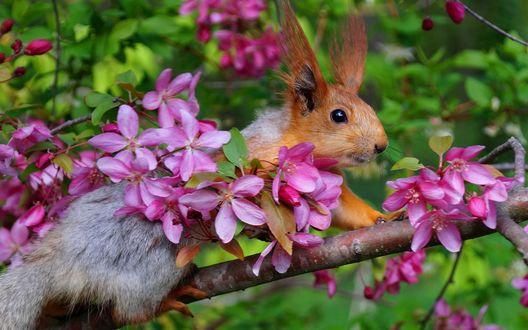 Обои Белочка сидит на цветущей ветке яблони