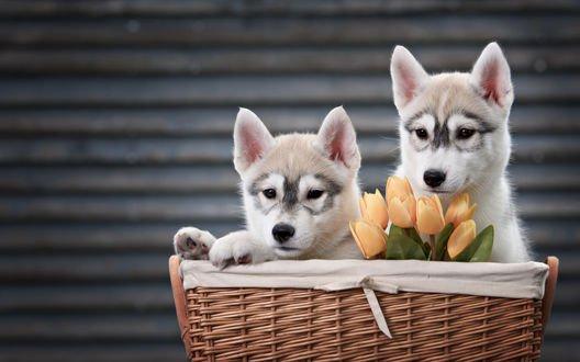 Обои Щенки породы хаски сидят в корзинке с букетиком тюльпанов, фотограф Ekaterina Brusnika / Екатерина Брусника