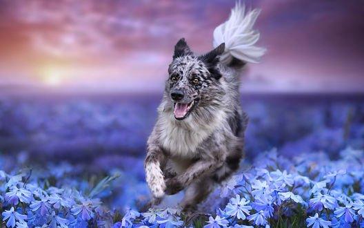 Обои Собака породы Бордер-колли бежит по полю среди голубых цветов на фоне заката, фотограф Pamela Buehler