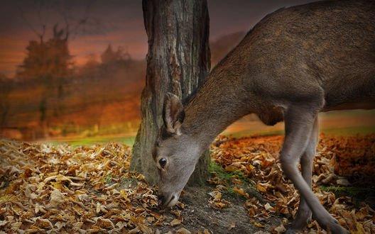 Обои Олень стоит у дерева и нюхает опавшие листья