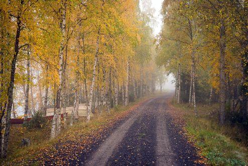 Обои Дорога в осенней березовой роще