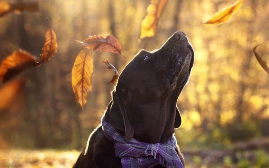 Обои Собака породы Лабрадор-ретривер с именем Аарон смотрит вверх на падающие осенние листья, фотограф Maria Luisa Milla