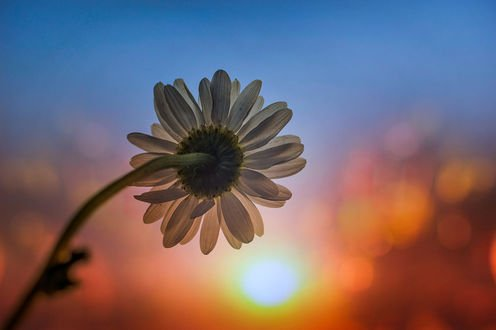 Обои Ромашка на фоне заката, фотограф Vega