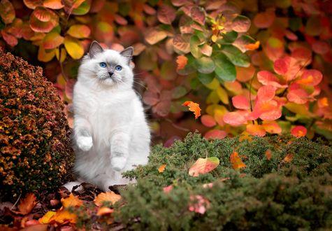 Обои Белая кошечка стоит на задних лапках на фоне осенней природы