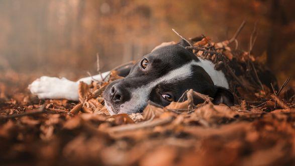 Обои Пес лежит в осенней листве