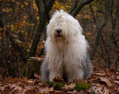 Обои Собака породы Бобтейл на осенней листве, фотограф Cees Bol