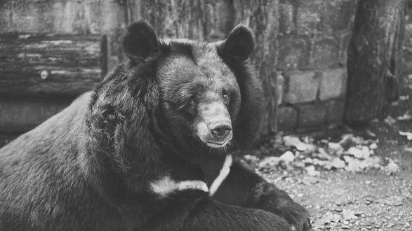 Обои Гималайский медведь в черно-белом цвете
