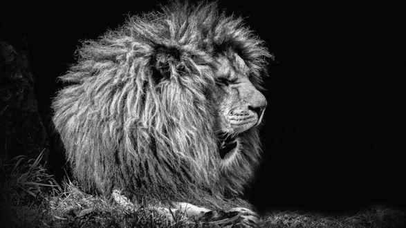 Обои Зевающий лев в заповеднике