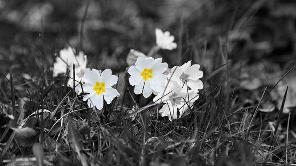 Обои Белые цветы в траве