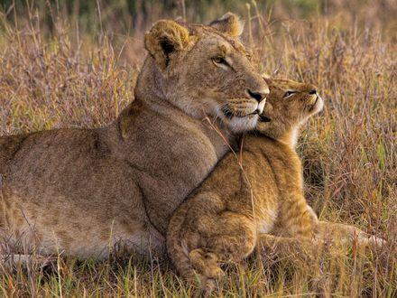 Обои Львица с львенком отдыхает в траве