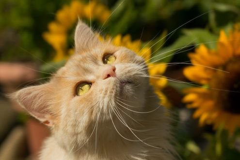 Обои Рыжий кот смотрит вверх, фотограф Regina