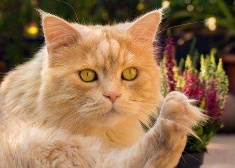 Обои Рыжий кот с желтыми глазами, фотограф Regina