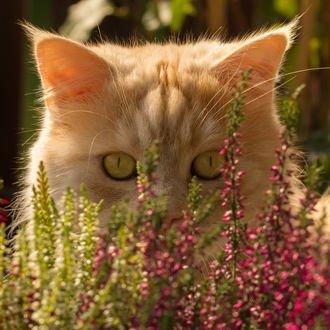 Обои Рыжий кот за цветами, фотограф Regina