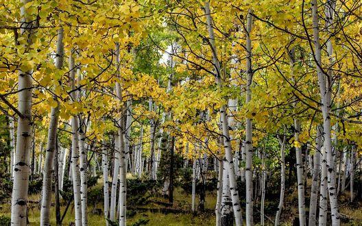 Обои Осенняя березовая роща