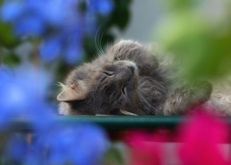 Обои Спящая серая кошка, фотограф Regina