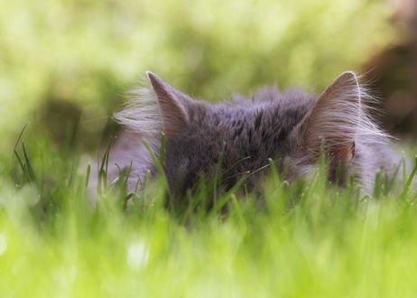 Обои Спящая кошка в траве, фотограф Regina