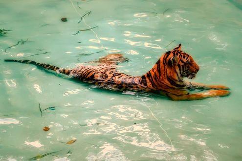 Обои Тигр лежит в воде