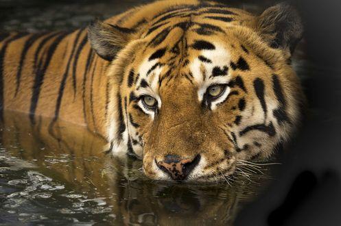 Обои Тигр в воде, фотограф Ian Lindsay