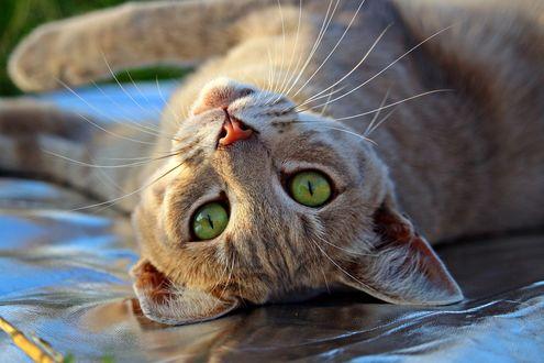 Обои Кошка с зелеными глазами смотрит на нас вверх ногами