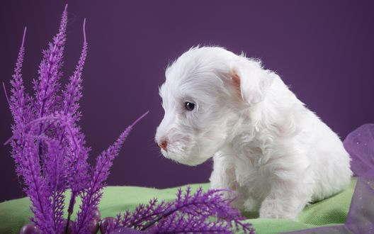 Обои Белый щенок породы силихем-терьер сидит на зеленой ткани