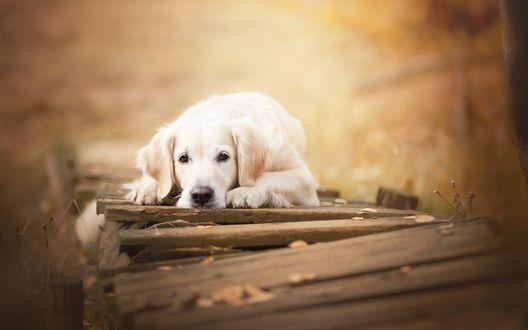 Обои Пес породы золотистый ретривер лежит на мостике