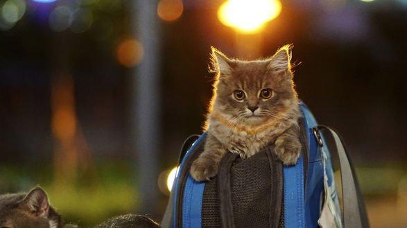 Обои Кошка сидит в рюкзаке, by Barry Leung (Busy)