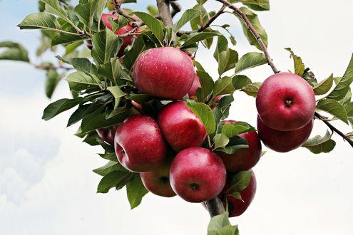 Обои Красные яблоки на ветке