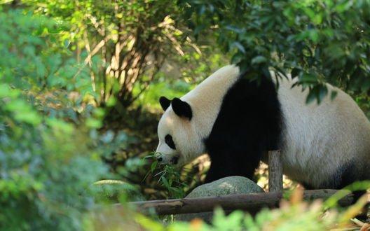 Обои Панда в заповеднике