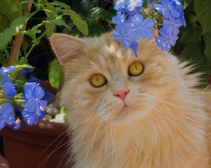 Обои Рыжий кот у цветов, фотограф Regina