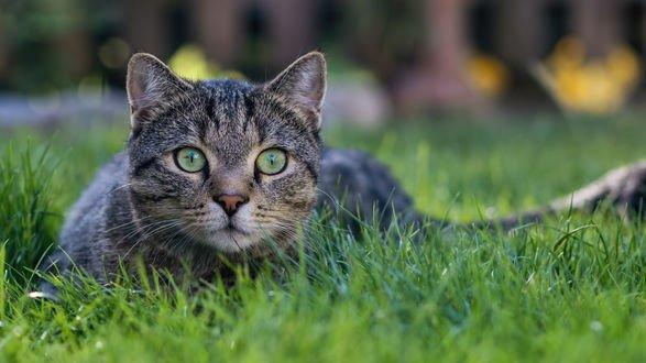 Обои Серая кошка лежит в траве, фотограф Regina