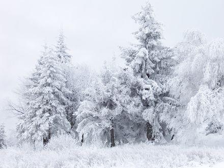 Обои Елки запорошенные снегом зимой
