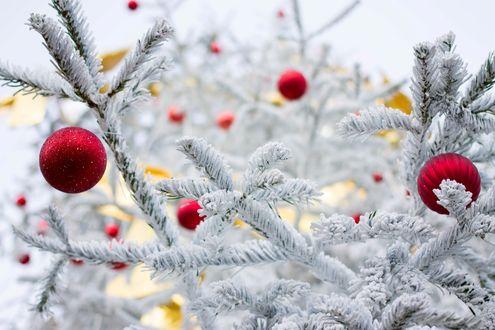 Обои Красные шарики на запорошенной снегом елке