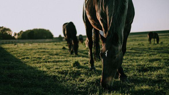 Обои Лошади на пастбище
