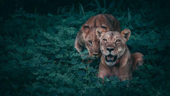 Обои Львицы в траве