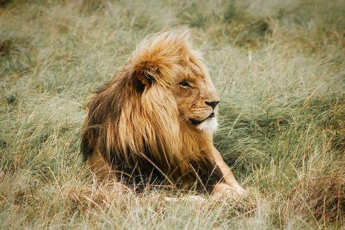 Обои Лев лежит в траве