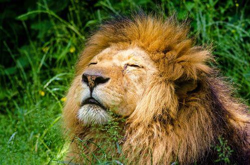 Обои Лев с закрытыми глазами на траве