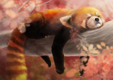 Обои Спящая красная панда на ветке, by shiroiaka