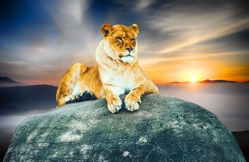 Обои Львица лежит на камне на фоне заката