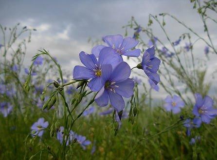 Обои Голубые цветы льна на фоне неба