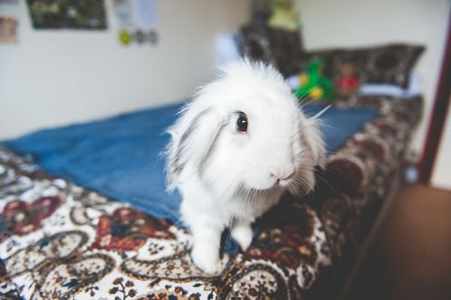 Обои Лохматый кролик сидит на кровати, by jamiedenton