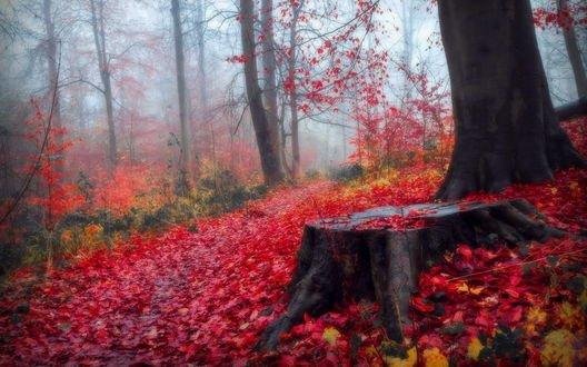 Обои Красные осенние листья в туманном лесу, фотограф Evelyn Klein Schiphorst