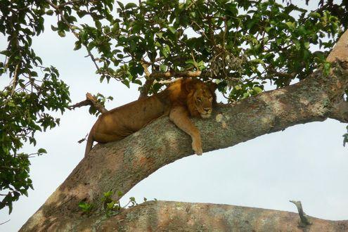 Обои Лев лежит на дереве