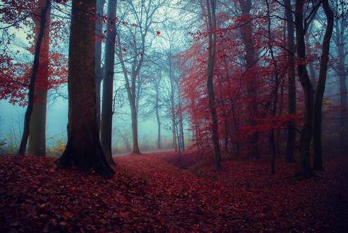 Обои Багряный осенний лес, фотограф Evelyn Klein Schiphorst