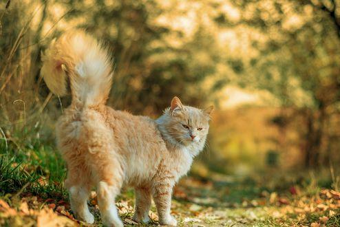 Обои Рыжая кошка на тропинке с осенними листьями, фотограф Grigor Ivanov / Григорий Иванов
