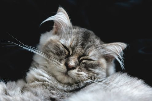 Обои Кошка с закрытыми глазами