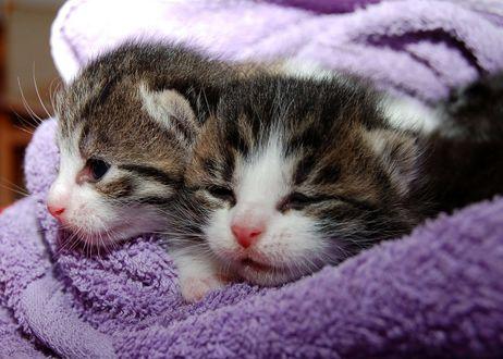 Обои Два маленьких котенка в покрывале