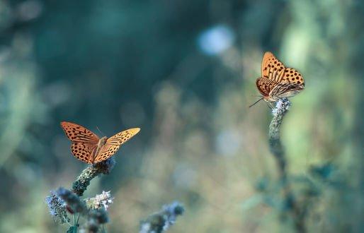 Обои Две бабочки на растении, фотограф Juliana Nan