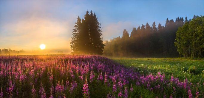 Обои Цветущий розовый иван-чай и темно-мрачные ели освещаются солнцем, фотограф Лашков Федор