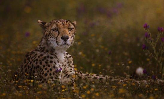 Обои Леопард лежит в цветах, фотограф Carlos Santero